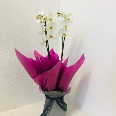 Luxurious White Orchid Plant