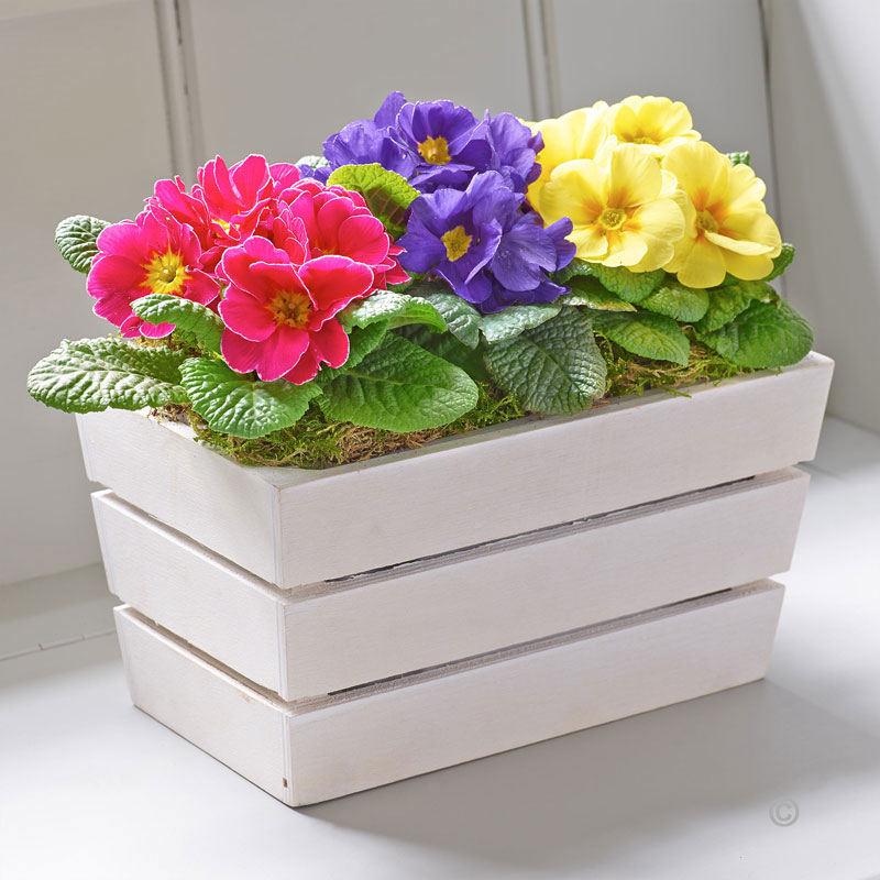 Spring Primrose Planter